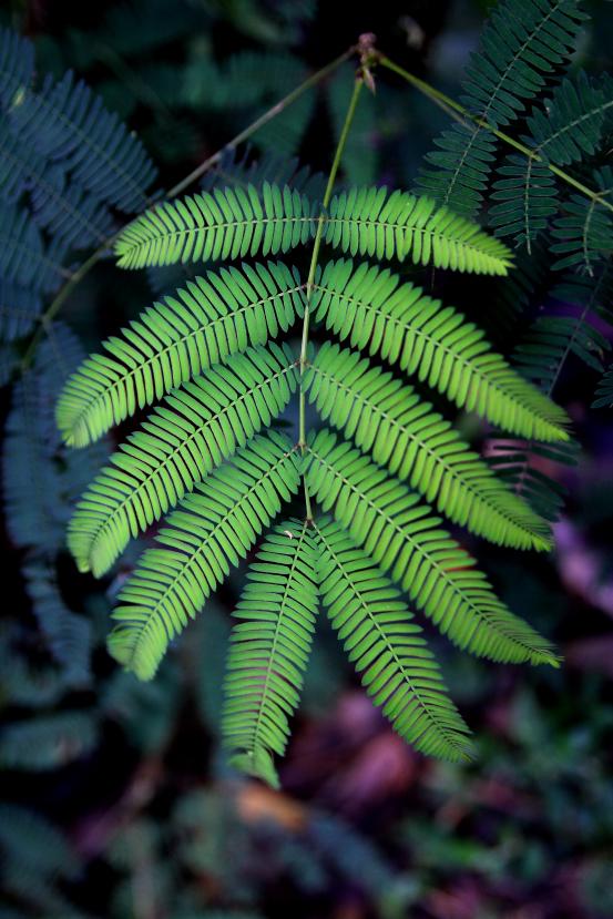 acacia kekapur