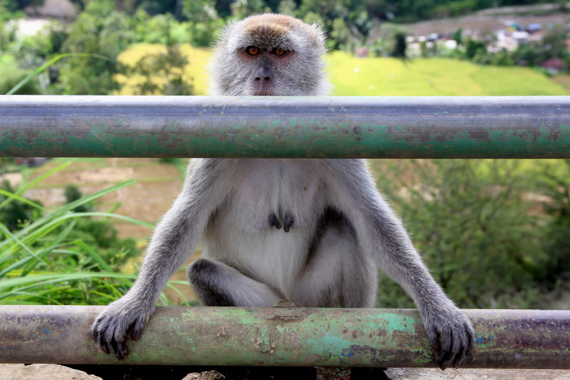 macaque at bukittinggi
