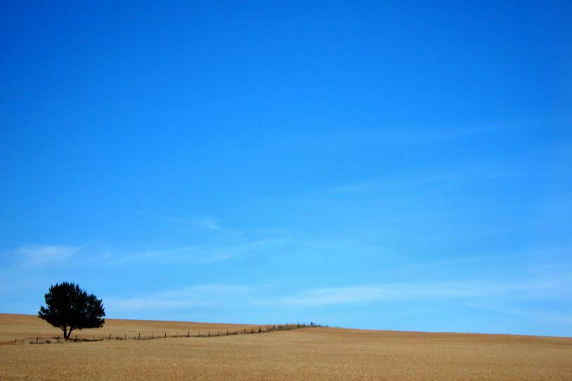 solitary tree - sunraysia