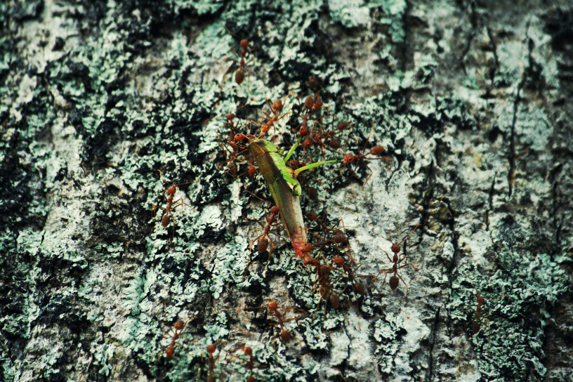 weaver ants and a grasshopper