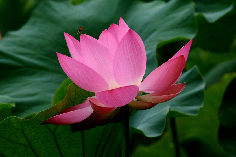 a lotus flower with a visitor