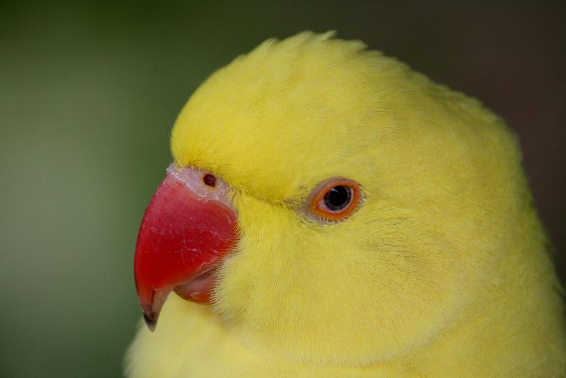 indian ringnecked parakeet