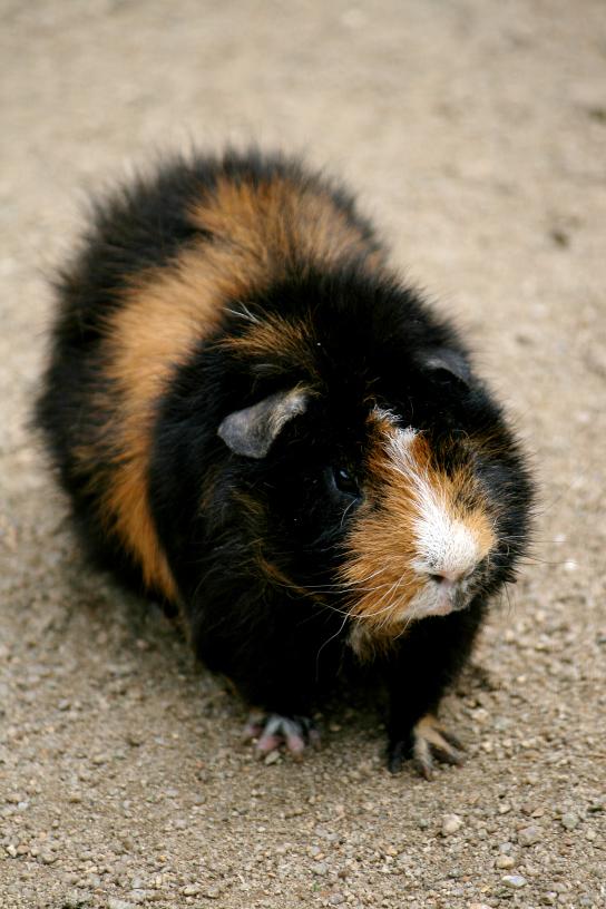 linny the guinea pig