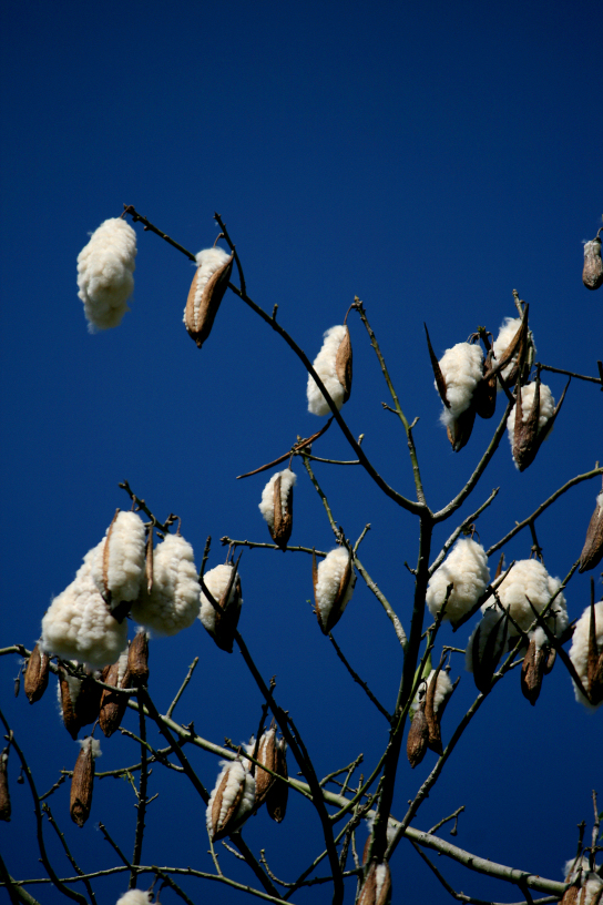 java cotton