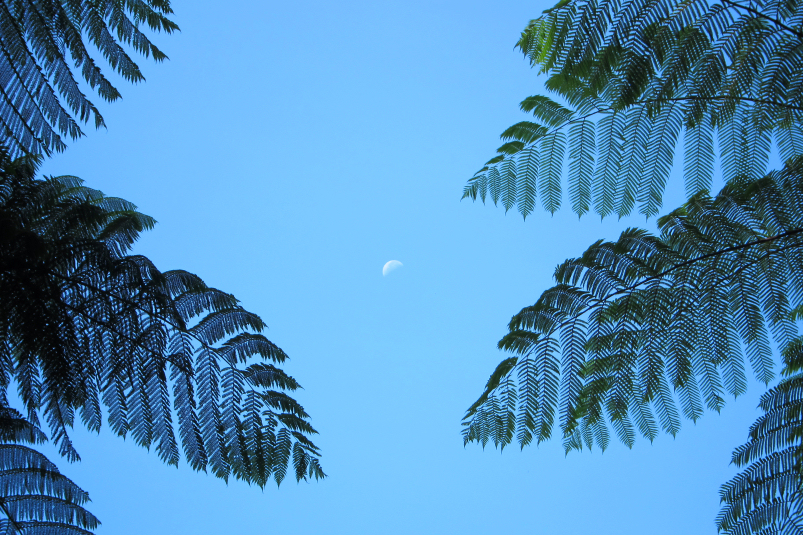 tree ferns and the moon