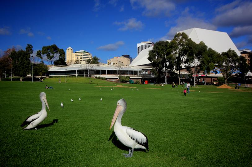 elder park's pelicans
