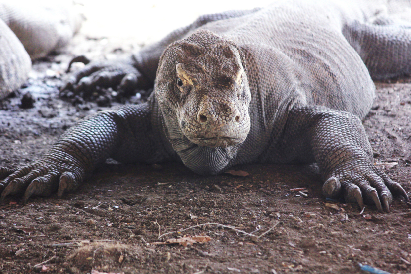 male komodo dragon