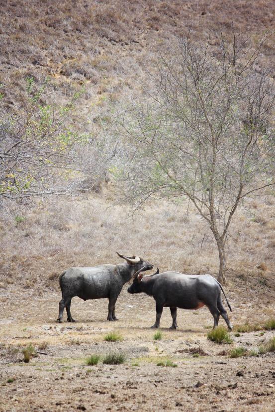 wild water buffalo2